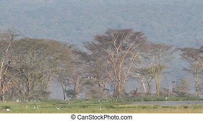 Waterbirds, Lake Nakuru - Waterbirds congregating at Lake...