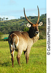 Waterbuck - A male waterbuck with big horns grasing in a...