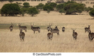 Waterbuck in grassland - Herd of waterbuck (Kobus...