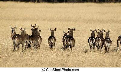 Waterbuck in grassland - Herd of waterbuck (Kobus...