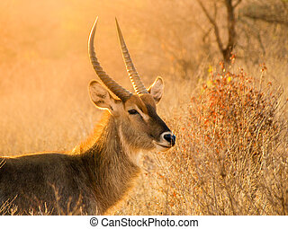 waterbuck, ram, 肖像画, 中に, 自然, 生息地, serengeti の 国立公園, タンザニア, アフリカ