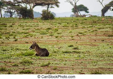 waterbucks, in, de, amboseli, savanne, een, park, in, noordwestelijk, kenia
