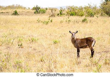 waterbucks, in, de, mara, savanne, een, park, in, noordwestelijk, kenia