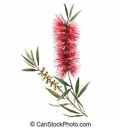Watercolor australian callistemon illustration - Beautiful ...