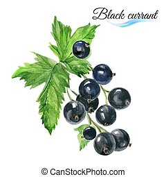 Watercolor black currant - Watercolor fruit black currant...