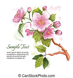 Watercolor branch of cherry blossoms. Illustration on white...