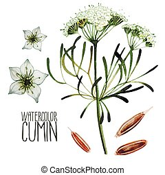 Watercolor cumin set isolated on white background. Natural spices