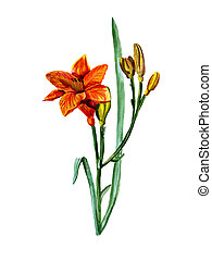 Watercolor flowers a lily