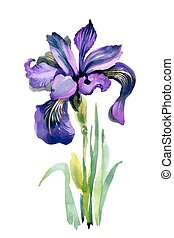 Watercolor garden Iris flowers isolated on white background.