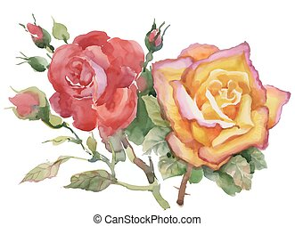 Watercolor garden roses isolated on white background.