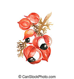 Guarana - Watercolor Guarana. Hand Drawn Illustration...
