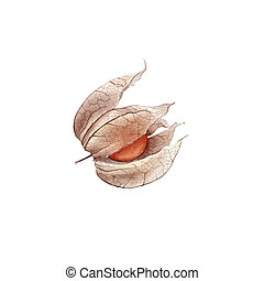 Watercolor hand drawn Orange dry physalis fruit berry isolated on white background.