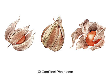 Watercolor hand drawn Orange dry physalis fruit berry set isolated on white background.