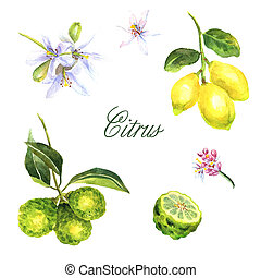 Watercolor hand-drawn set of citrus isolated on white background