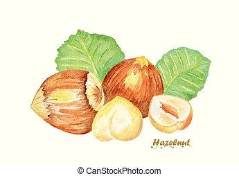Watercolor Hazelnut. Hand painted realistic illustration on...