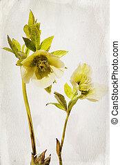 Watercolor helleboreflower