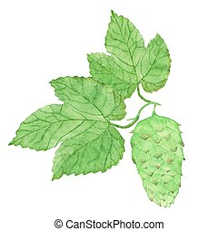 Watercolor hops, aquarelle. Vector illustration. Hand-drawn element.