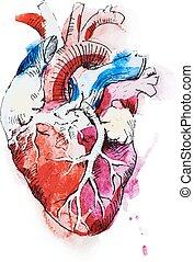 Watercolor human heart