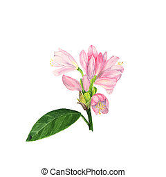 Watercolor illustration of pink rhododendron flowers and...