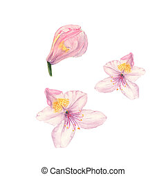 Watercolor illustration of pink rhododendron flowers on...