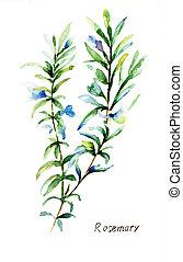Rosemary - Watercolor illustration of Rosemary