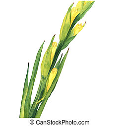 Watercolor Illustration of Yellow Gladiolus Flower on white...
