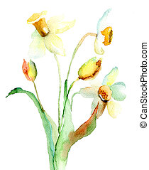 Narcissus flowers - Watercolor illustration with Narcissus...