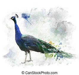 Watercolor Image Of Peacock
