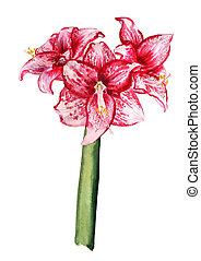 three flowers of amaryllis