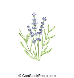 Watercolor lavender on the white background, aquarelle....