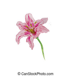 Watercolor lily pink color isolated on white hand painted art