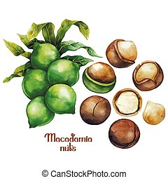 Watercolor macadamia nuts collection isolated on white ...
