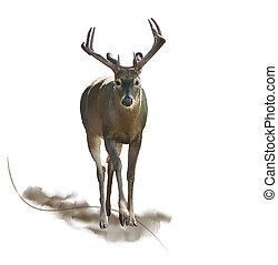 watercolor, mannelijk hert
