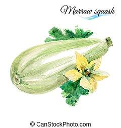 Watercolor marrow squash - Watercolor vegetables marrow...