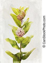 Watercolor Milkweed flowers - Illustration of watercolor...