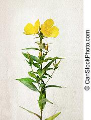 Watercolor Oenothera biennis flowers