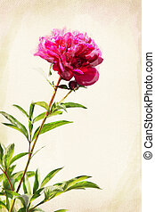 Watercolor peony - Illustration of watercolor red peony on a...