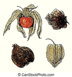 Watercolor physalis fruit set isolated on white background
