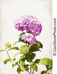 Illustration of watercolor pink hydrangea on a vintage background