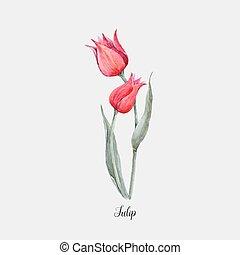Watercolor red tulip flower