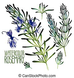 Watercolor rosemary set isolated on white background. ...