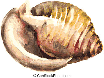 Watercolor Shell, vector illustration  for your design