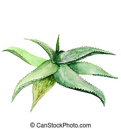 Watercolor succulent aloe. Original hand drawn watercolor painting isolated on white