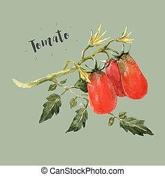 Watercolor tomato branch