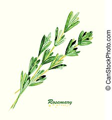 Watercolor twig of rosemary. Hand painted realistic ...