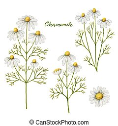Watercolor vector illustration of chamomile.