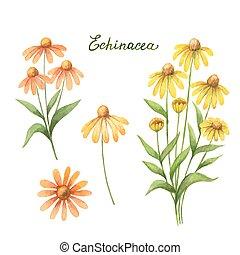 Watercolor vector illustration of echinacea.