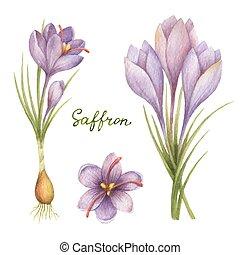Watercolor vector illustration of saffron. - Watercolor...
