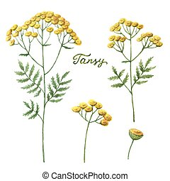 Watercolor vector illustration of tansy.