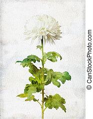 Watercolored white chrysanthemum